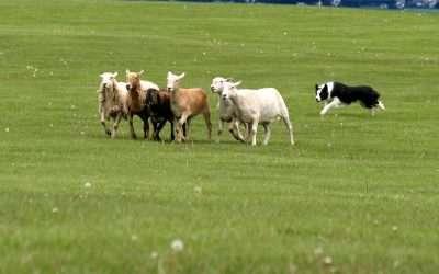 Border Collie Sheep Herding Demonstration